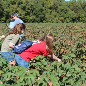Students pick and examine some cotton