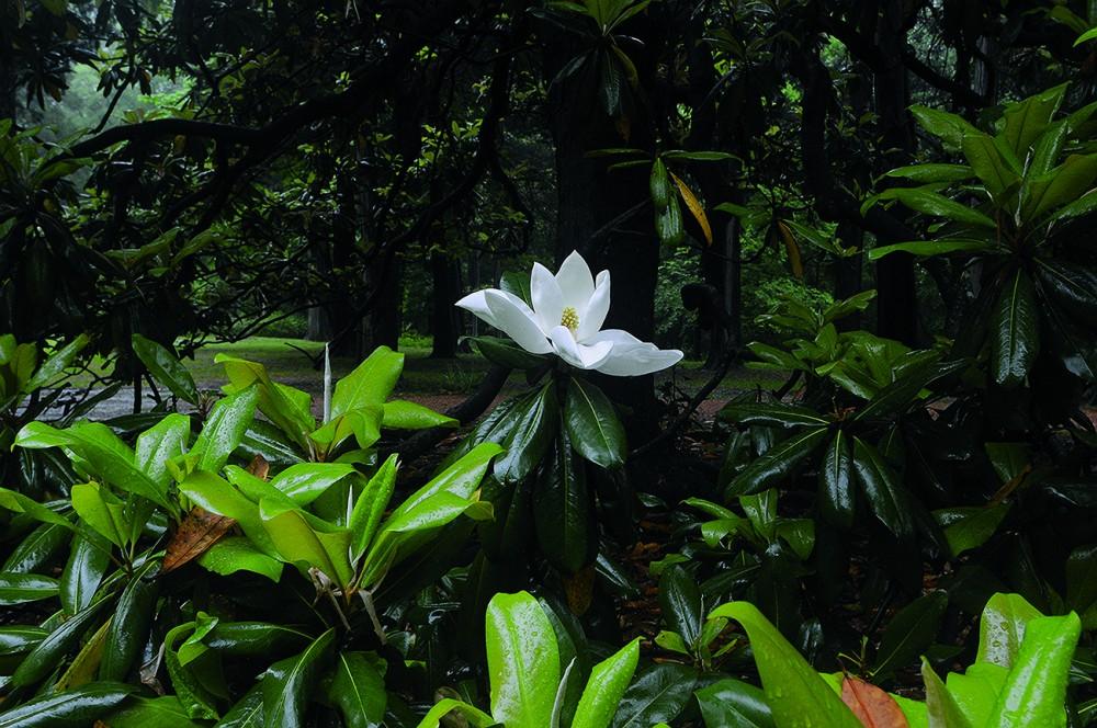 E Croom - Magnolia small